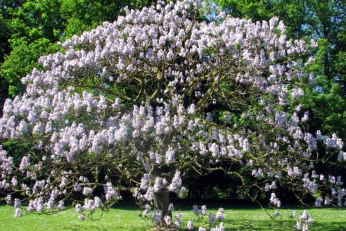chinese empress tree