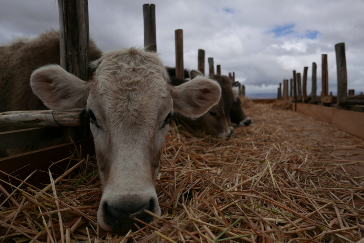 most farmers in Junín have returned to their cattle