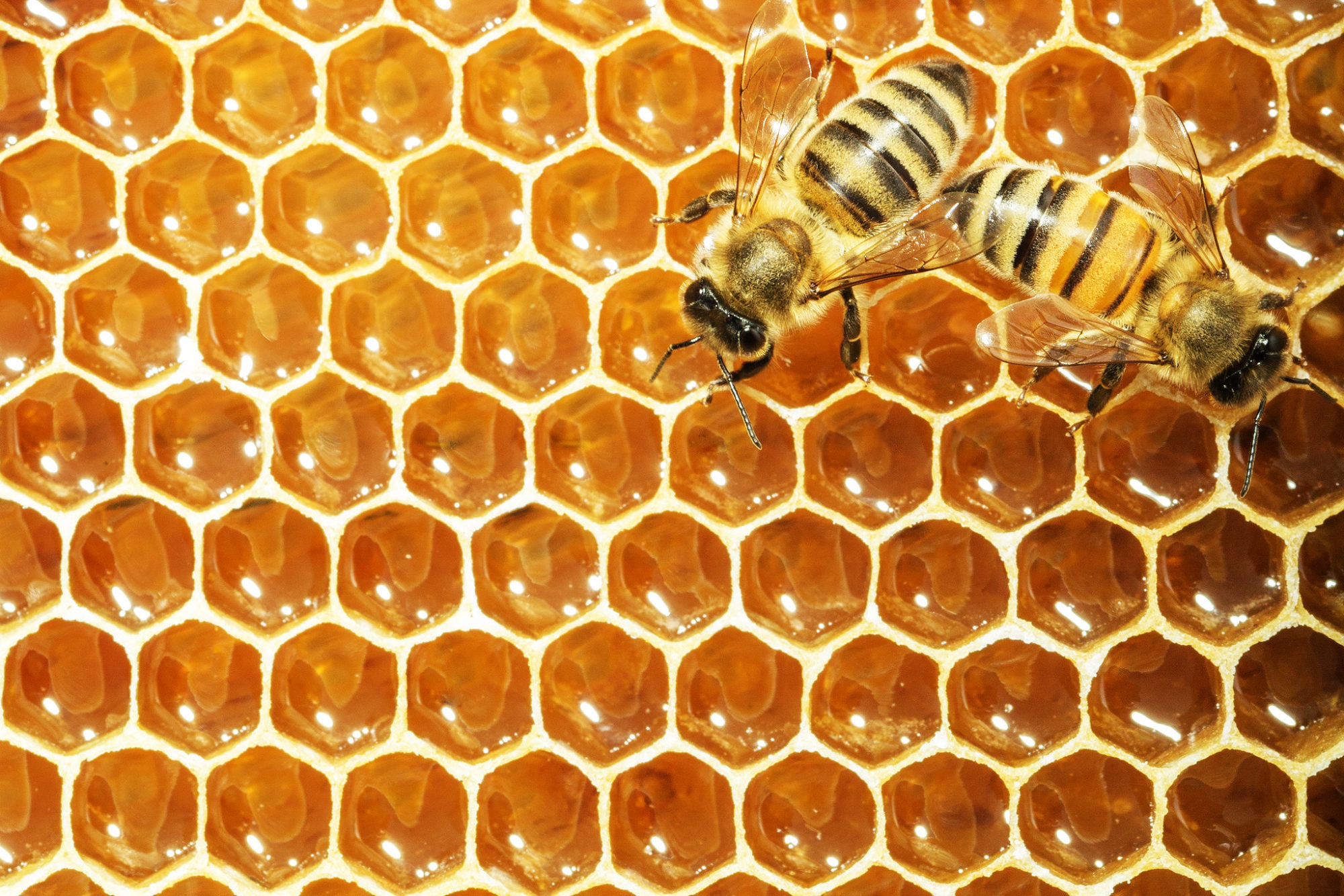 Impure Chinese honey undermines Mexico's beekeepers