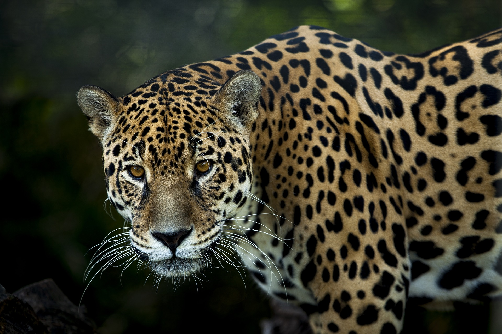 Pac-Man: The jaguar hunted for parts in Mexico