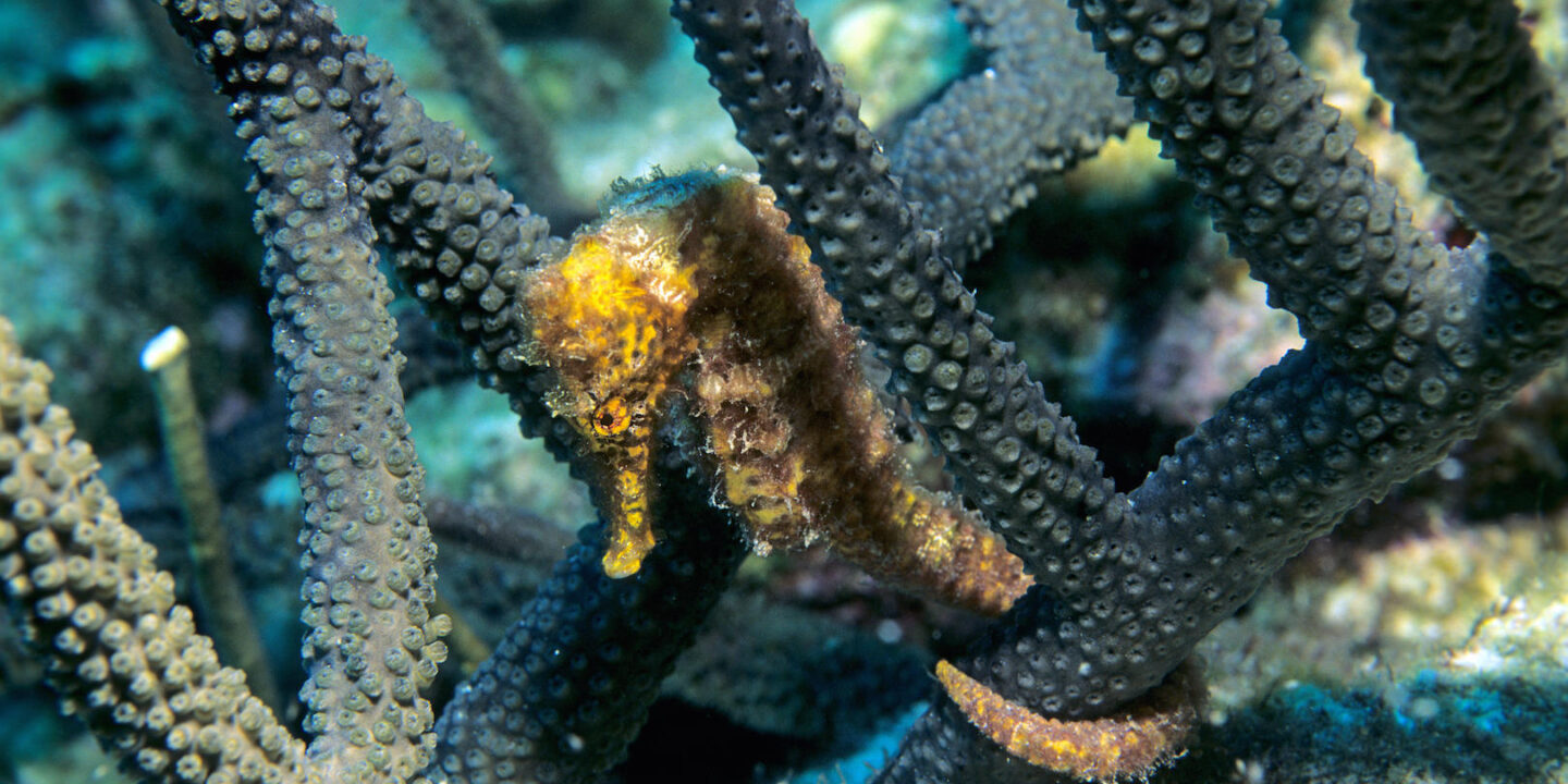 Mexican seahorses are traded to China for use in traditional medicine