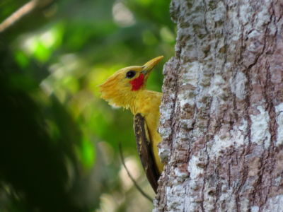 Cream-colored Woodpecker (Celeus Flavus)