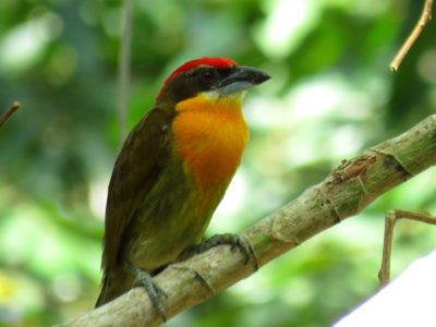 Scarlet-crowned Barbet  (Capito Aurovirens)